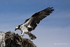 Osprey 5275<br /> Osprey in Guerrero Negro are non-migratory. Guerrero Negro is one of the most important breeding areas for the Osprey on the West coast of Mexico.