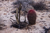 Catavina 4268<br /> Barrel Cactus in the Central Desert in the Baja Peninsula.
