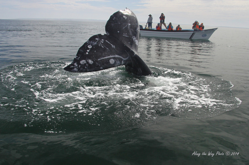 Gray Whales 5025<br /> Gray Whale Fluke with 22 foot boat in background. The Tail can be ten feet in width. In Scammon's Lagoon in Guerrero Negro on the Baja Peninsula.