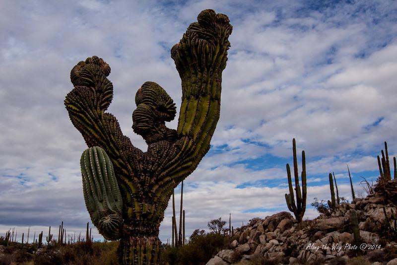 Catavina 5811<br /> Unusually shaped Cardon Cactus in the Central Desert in Baja California just outside of Catavina.