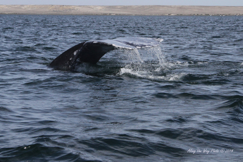 Gray Whales 4657<br /> Gray Whale diving in Scammon's Lagoon in Guerrero Negro on the Baja Peninsula. The Gray Whale's Fluke on the adult can be ten feet in width.