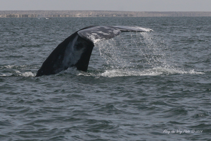 Gray Whales 2502<br /> Gray whale diving in Scammon's Lagoon in Guerrero Negro on the Baja Peninsula.