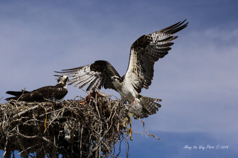 Osprey 5321<br /> Osprey in Guerrero Negro are non-migratory. Guerrero Negro is one of the most important breeding areas for the Osprey on the West coast of Mexico.