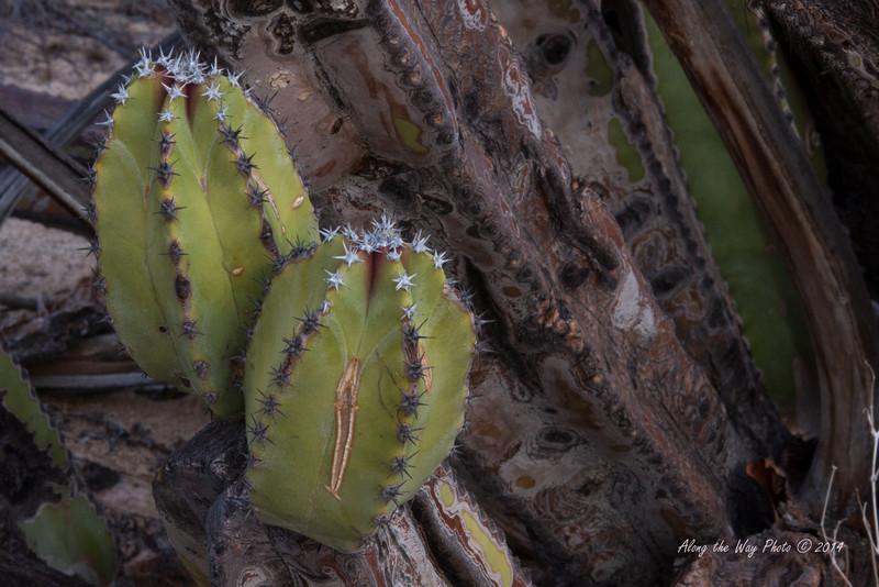 Catavina 4284<br /> Cactus in the Central Desert in the Baja Peninsula.