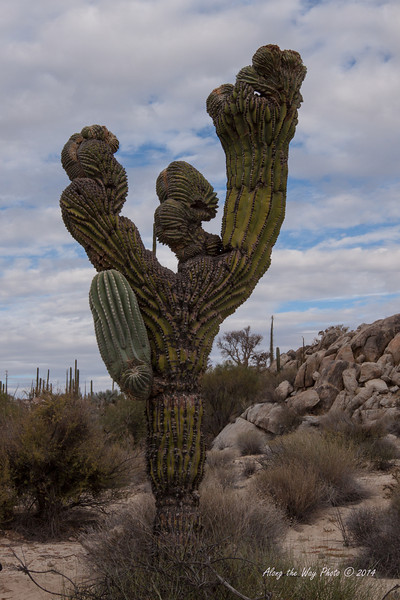 Catavina 5809<br /> Unusually shaped Cardon Cactus in the Central Desert in Baja California just outside of Catavina.