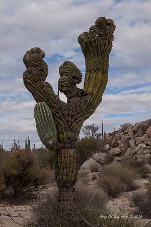 Catavina 5809<br /> Unusually shaped Cardon Cactus in the Central Desert in Baja California just outside of Catavina.
