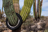 Catavina 4352<br /> Cardon Cactus in the Central Desert in Catavina in the Baja Peninsula.