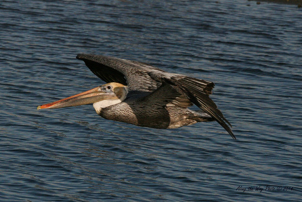 Brown Pelican 2660<br /> Brown Pelican flying over a small pond on the edge of Guerrero Negro on the Baja Peninsula.