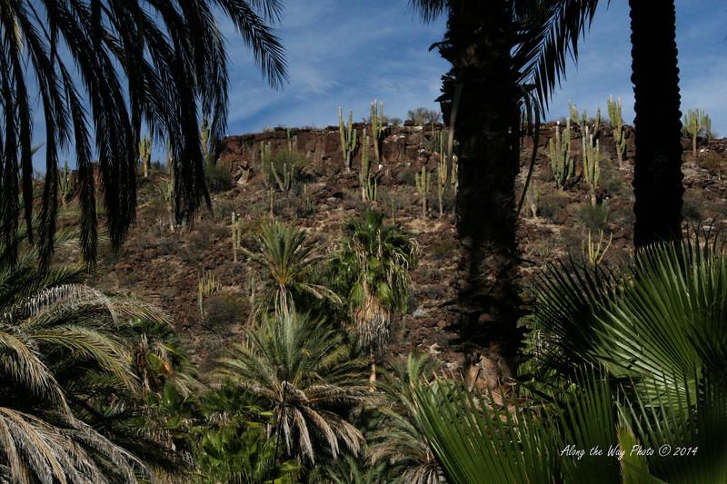 San Ignacio 2838<br /> Hill side of Cactus overlooking San Ignacio in Baja California.
