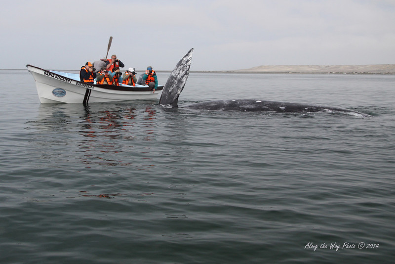 Gray Whales 4922<br /> Gray Whale by 22 foot fishing boat used to take people out to watch the whales.