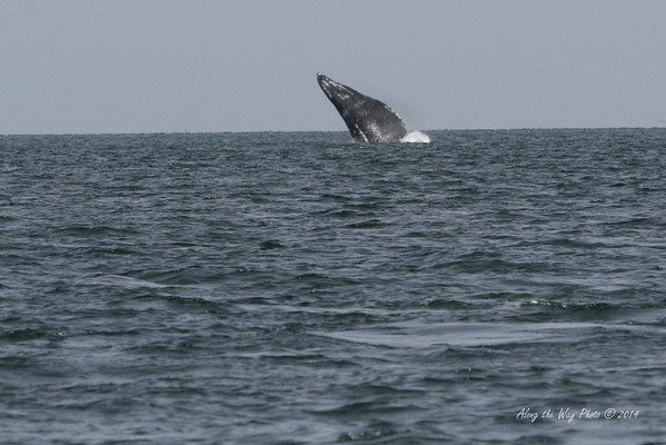 Gray Whales 2465<br /> Gray Whale breaching in Scammon's Lagoon in Guerrero Negro on the Baja Peninsula.