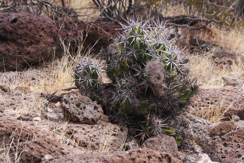 San Ignacio 5513<br /> Hedgehog Cactus on the hill overlooking San Ignacio.