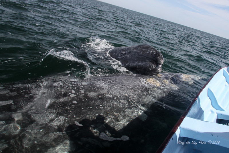 Gray Whales 4691<br /> Gray whale calf checking out our boat with his head on mom in Scammon's Lagoon in Guerrero Negro on the Baja Peninsula. The calves will weigh a ton at birth. The female Gray Whales will weigh 30 to 40 tons and will be up to 50 feet in length.