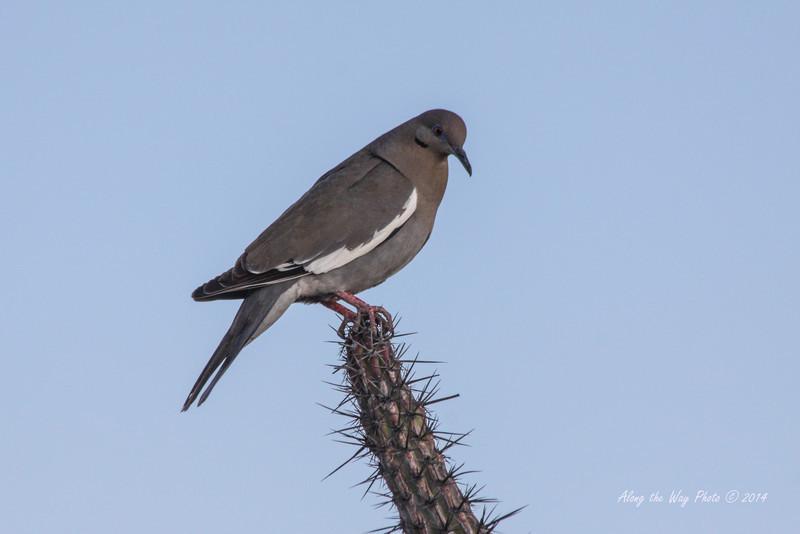 San Ignacio 5566<br /> White Winged Dove on a cactus in San Ignacio.