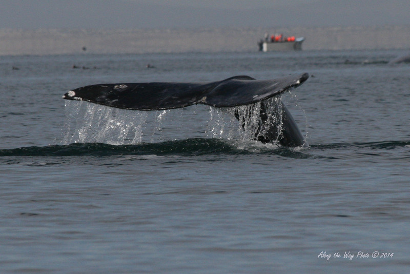Gray Whales 1-42<br /> Gray Whale diving in Scammon's Lagoon in Guerrero Negro on the Baja Peninsula. The Gray Whale's Fluke on the adult can be ten feet in width.