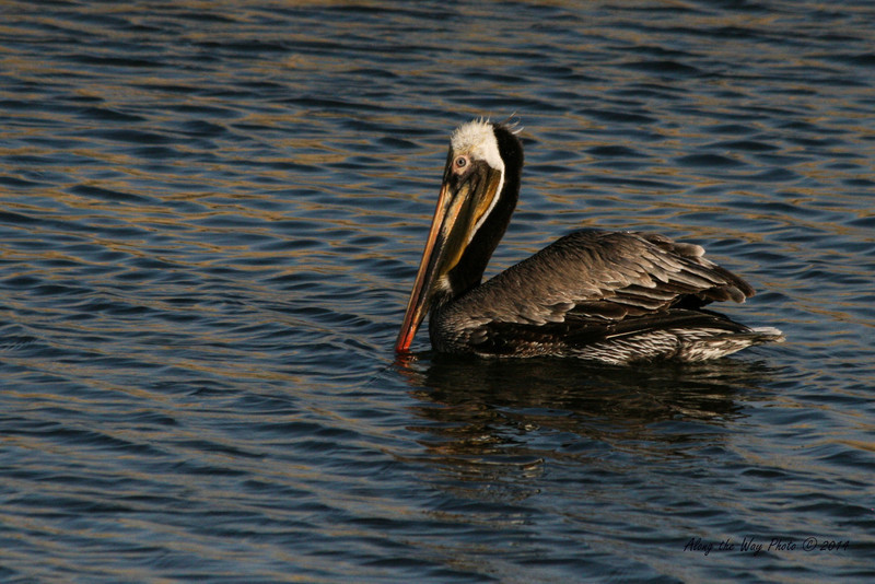 Brown Pelican 21<br /> Brown Pelican flying over a small pond on the edge of Guerrero Negro on the Baja Peninsula.