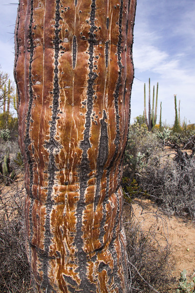 Catavina 4439<br /> Bottom of a Cardon Cactus in the Central Desert , in the Baja Peninsula.