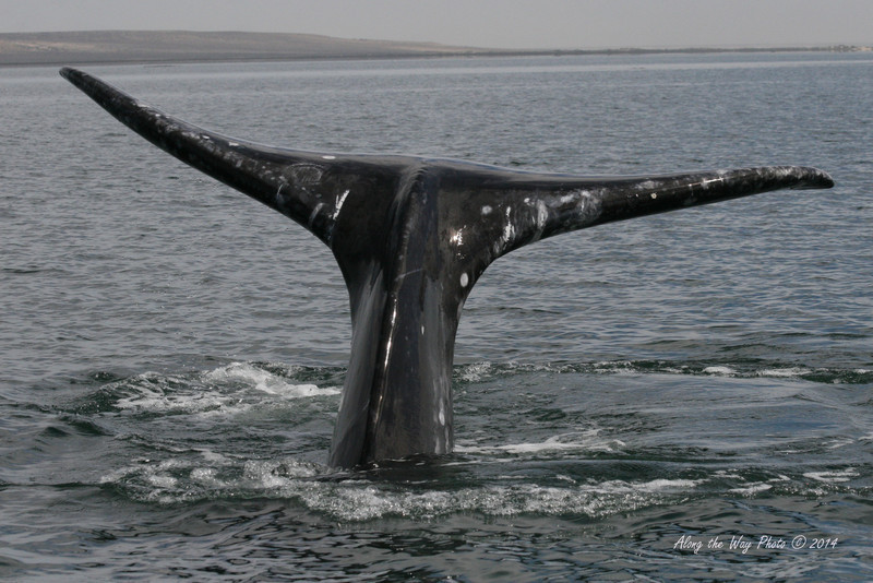 Gray Whales 2618<br /> Gray Whale diving in Guerrero Negro on the Baja Peninsula. The Gray Whale Fluke on the adults can be ten feet in width.