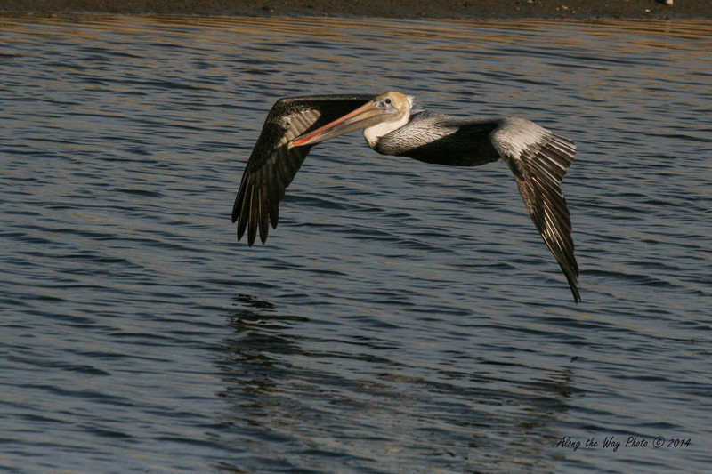 Brown Pelican 7<br /> Brown Pelican flying over a small pond on the edge of Guerrero Negro on the Baja Peninsula.