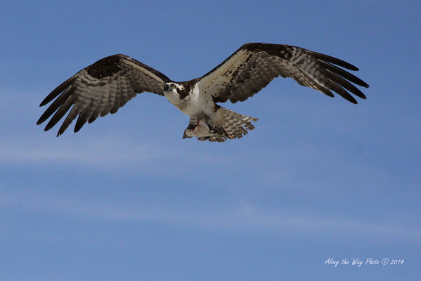 Osprey 5334<br /> Osprey with fish. Osprey in Guerrero Negro are non-migratory. Guerrero Negro is one of the most important breeding areas for the Osprey on the West coast of Mexico.