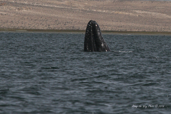 Gray Whales 2508<br /> Gray Whale spy hopping in Scammon's Lagoon in Guerrero Negro on the Baja Peninsula. A whale will spy hop, coming out of the water just far enough to look around.