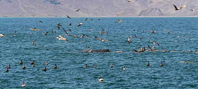 Brown pelicans with humpback whale.