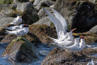 "Elegant terns. Books say it is a ""very rare west coast species."""