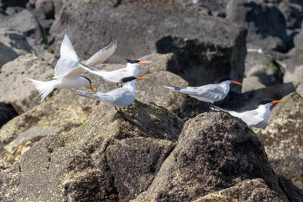 """Elegant terns. Books say it is a """"very rare west coast species."""""""