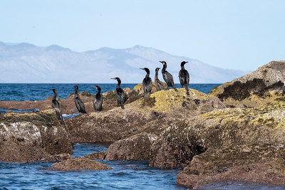 Cormorants.