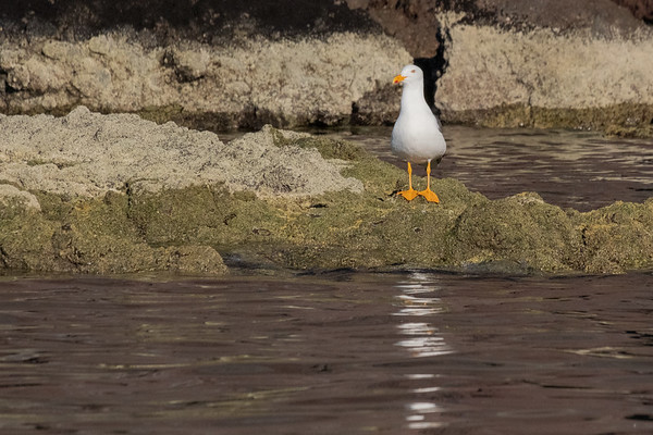 Yellow-footed gull.