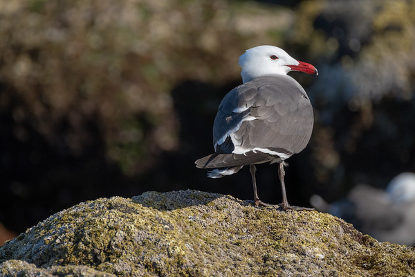 Hermann's gull.