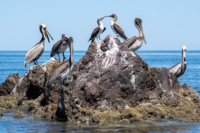 Brown pelicans and blue-footed boobies