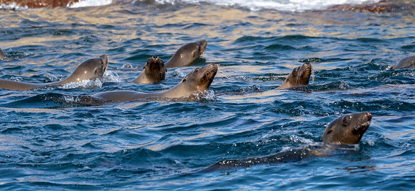 More swimming sea lions.