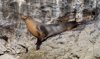 An adult sea lion.
