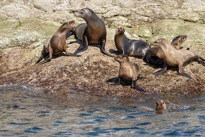 Sea Lions. Wikipedia:  Sea lions are pinnipeds characterized by external ear flaps, long foreflippers, the ability to walk on all fours, short, thick hair, and a big chest and belly.