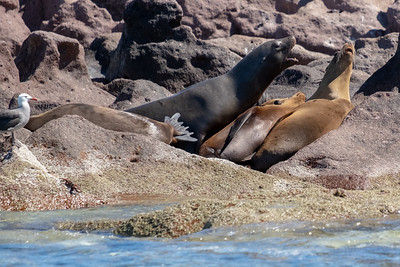A large male sea lion exerts his control.