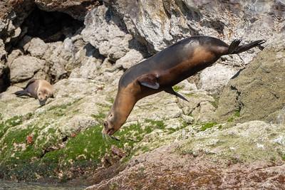 Diving sea lion.