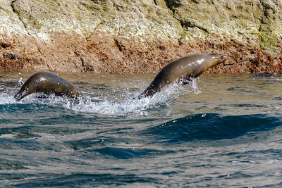 Leaping sea lions.