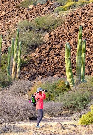 Cardon cactus.