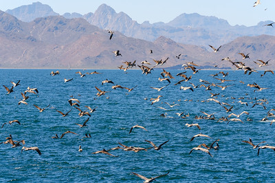 A large number of brown pelicans gathered to capture the fish brought up by a feeding humpback.