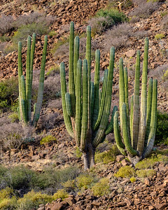 Cardon cactus. WIKIPEDIA:  Pachycereus pringlei, also known as Mexican giant cardon or elephant cactus, is a species of cactus native to northwestern Mexico in the states of Baja California, Baja California Sur, and Sonora.