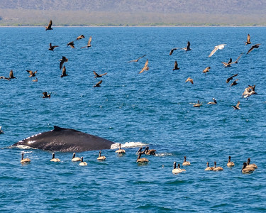 A humpback whale is feeding and churning up fish for the brown pelicans.