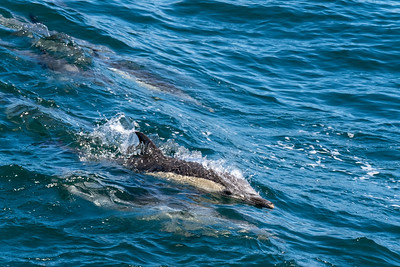 Bottle nose dolphins surfing in the ship's bow wave.