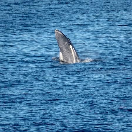 Humpback whale calf breaches.