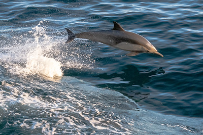 Bottle nose dolphin breaches in the bow wave of the ship