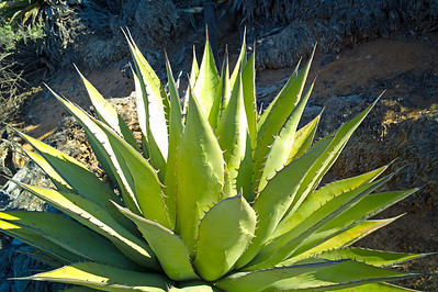 I could take pictures of agaves all day long!