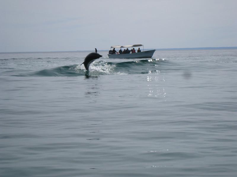 verspielte Delfine in den Wellen