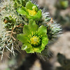 Cholla cactus (jumping cactus) in bloom