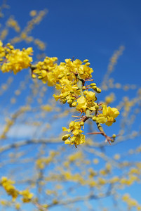 beautiful Palo Verde flowers