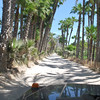 driving through the palm gardens of La Purisima